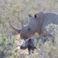 Aquila Rhino Birth 2 (Photo Henk Kruger ANA).jpg