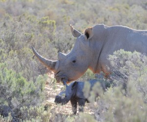 Aquila Rhino Birth 2 (Photo Henk Kruger ANA).jpg