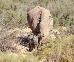 2018 Aquila Rhino Birth.jpg
