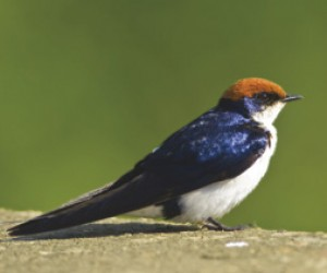 6_wire_tailed_swallow.jpg
